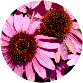 echinacea flower shows new life