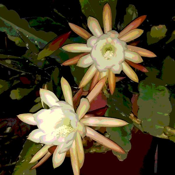Night queen flowers