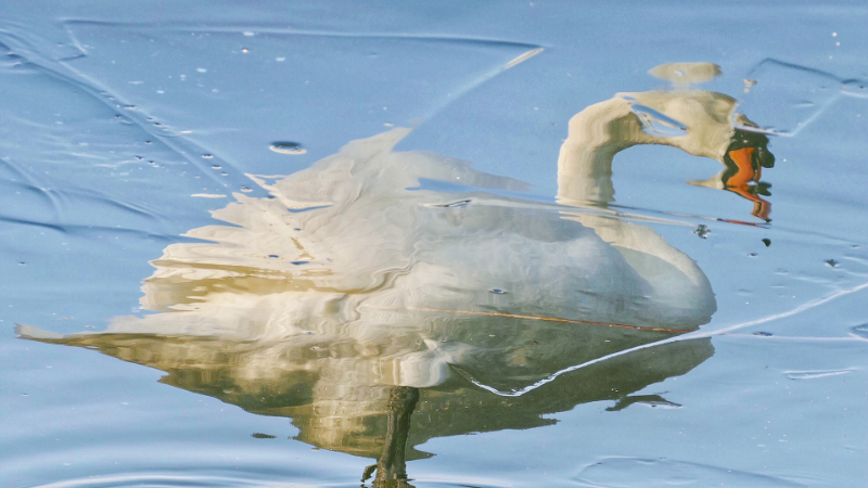 distorted image of a white swan in water